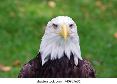 bald eagle or haliaeetus leucocephalus bird of prey isolated against backround with both eyes facing camera