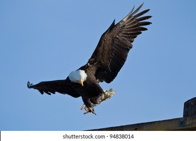 Bald Eagle (Haliaeetus leucocephalus) is a bird of prey found in North America.