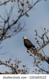 A bald eagle (Haliaeetus leucocephalus) calls from a tree on the shore of Grand Traverse Bay, part of Lake Michigan in the U.S.A..