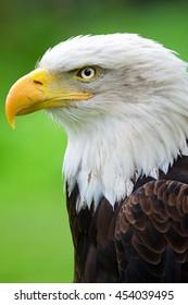 Bald Eagle (Haliaeetus leucocephalus) detail of the head of this predator
