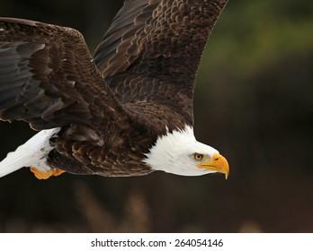 A Bald Eagle (Haliaeetus leucocephalus) in flight.