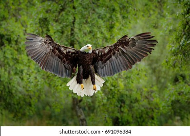 Bald Eagle, Haliaeetus leucocephalus, flying brown bird of prey with white head, yellow bill, symbol of freedom of the United States of America.