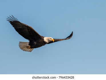 Bald eagle (Haliaeetus leucocephalus) flying, Mississippi River, Iowa, USA