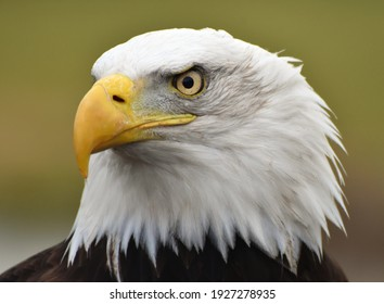A Bald Eagle (Haliaeetus leucocephalus) with a green forest background.