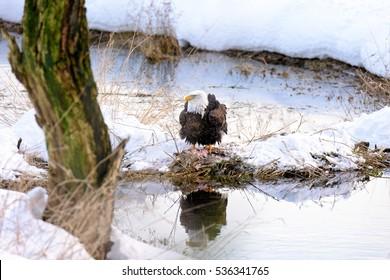 Bald Eagle (Haliaeetus leucocephalus) in Harrison-Chehalis Flats, Fraser Valley, Canada
