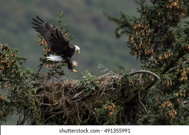 Bald Eagle (Haliaeetus leucocephalus) is landing on a nest.