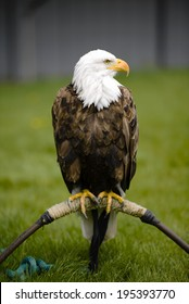 Bald Eagle (Haliaeetus leucocephalus) is a North American bird of prey