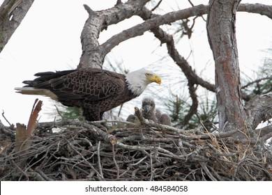 Bald eagle (Haliaeetus leucocephalus) on nest with young, Three lakes WMA, Florida, USA