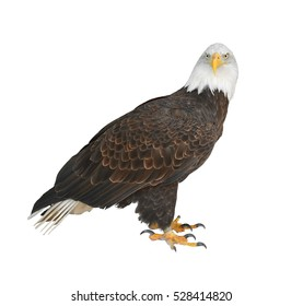 Bald eagle (Haliaeetus leucocephalus) on white background