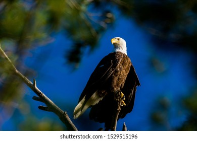 A bald eagle (Haliaeetus leucocephalus) perched in a tree framed by green branches against a clear blue sky.