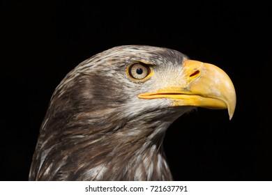 Bald Eagle (Haliaeetus leucocephalus) Portrait also known as American Eagle