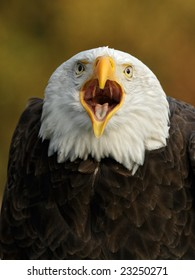 Bald Eagle (Haliaeetus leucocephalus) screaming
