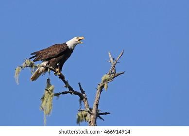 A Bald Eagle (Haliaeetus leucocephalus) screeching from a tree, shot in Tofino, British Columbia, Canada.