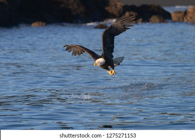 Bald Eagle in Homer Alaska, USA