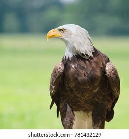 Bald eagle horizontal profile
