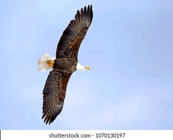 Bald Eagle inf flight on soft blue sky.
