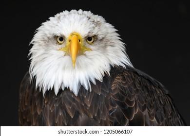 Bald Eagle isolated portrait