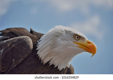 bald eagle keeps an eye out