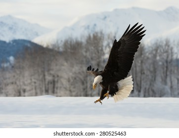 The Bald eagle lands on the snow-covered ground, having stretched wings