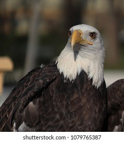 Bald Eagle- A large raptor with wingspans of about six feet. The adult bald eagle has a dark body with the distinct white head. This is a two year old male from Washington state.