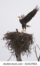 Bald eagle launching up from the nest.