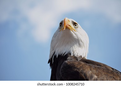 bald eagle is looking