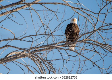 Bald eagle looking at the photographer.