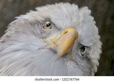 Bald Eagle looking at you, closeup