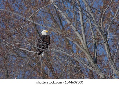 A bald eagle looks into the blue sky while trying to hide in a barren tree.