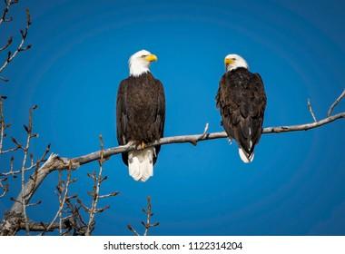 Bald Eagle Mates