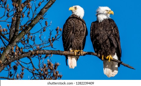 Bald Eagle mating pair on a branch over the Potomac River