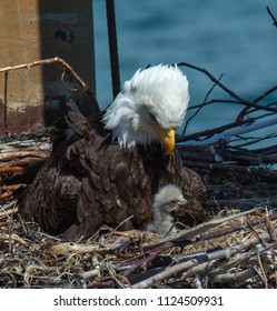 A Bald Eagle mom stares directly down at her eaglet who is covered in the soft down of a brand new chick.
