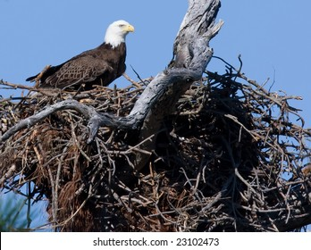 Bald eagle in a nest.