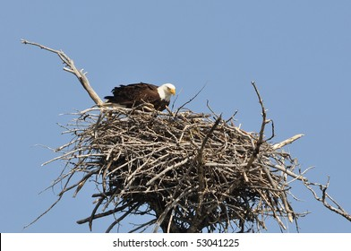 Bald Eagle in it's Nest