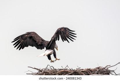 Bald Eagle Nesting Platform, Eagle Landing