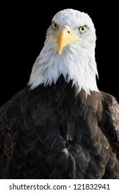 Bald eagle on black background