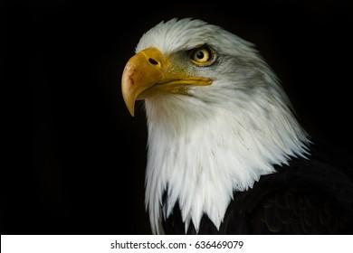 1000 Eagle Wallpaper Stock Images Photos Vectors