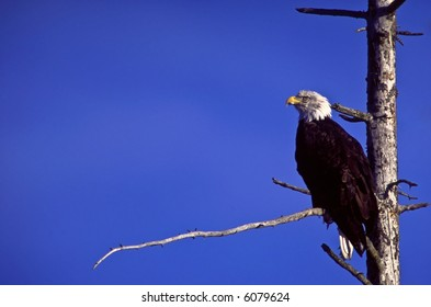 Bald Eagle on a branch.