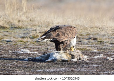 Bald eagle on a coyote carcass