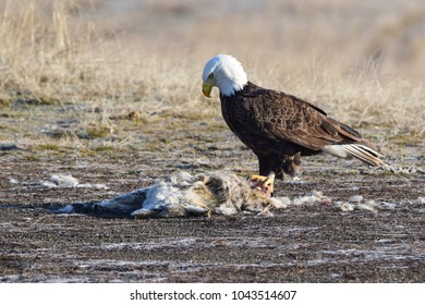 Bald eagle on coyote carcass