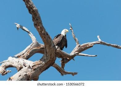 Bald Eagle on Dead Tree Branch