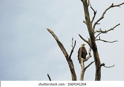 Bald Eagle on dry tree  - Reelfoot Lake State Park, Tennessee