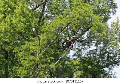 Bald Eagle on green tree - Reelfoot Lake State Park, Tennessee