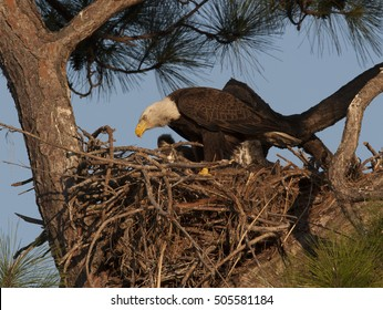 Bald eagle on nest in pine tree
