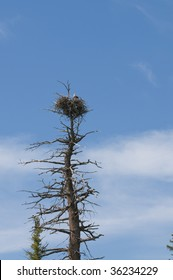 Bald eagle on nest in Yellowstone National Park