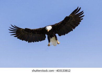 Bald eagle on the way down. A magnificent bald eagle spreads its wings wide as it prepares to descend from the sky.
