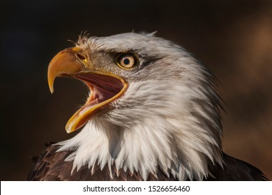 Bald eagle with open beak from side view and has open eye. Photo on dark background.