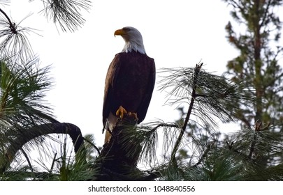 Bald Eagle in Pacific Northwest