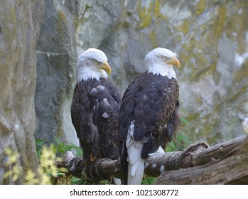 Bald eagle pair with drowsy eyes beside a rocky cliff.