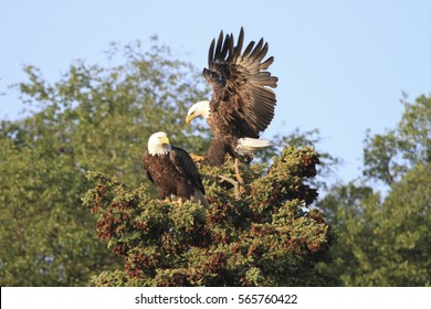 Bald Eagle Pair - (Haliaeetus leucocephalus)